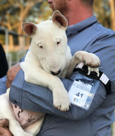 Aelfhere Miniature Bull Terriers, Breeders of Quality Bull